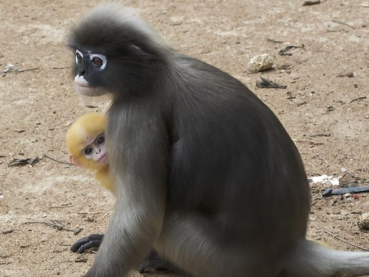 Why Primates Kill Their Offspring