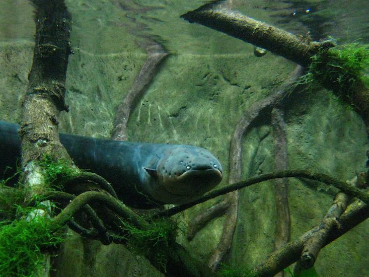 Physics electric eels